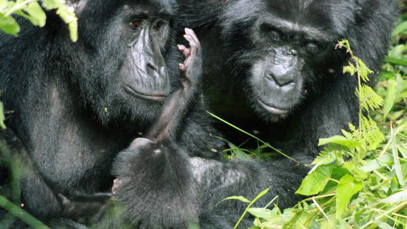 Gorillas: Bedrohliche Nähe