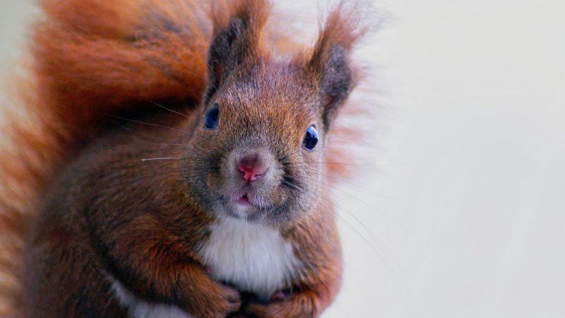 Evolutionärer Vorteil heimischer Eichhörnchen