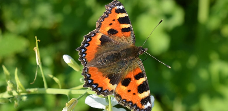 Schmetterling BfN