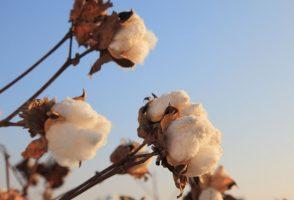 Juniper Baumwolle