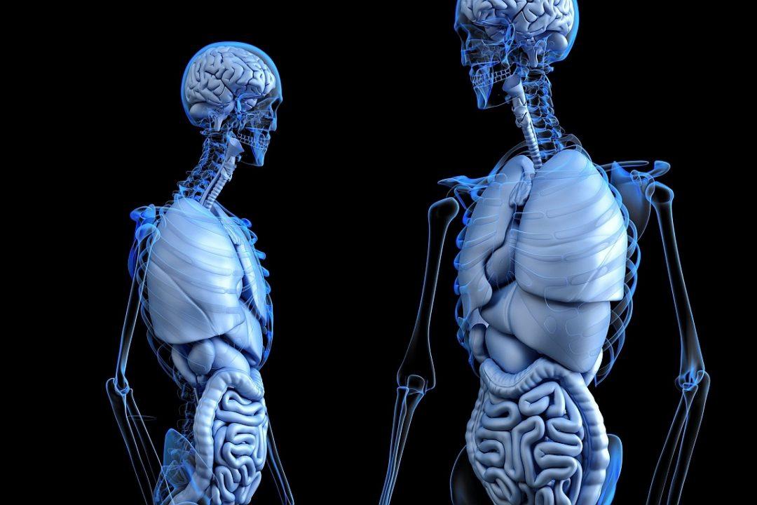 Verdauung 2 Slon anatomical 2261006 1920 pixabay CC PublicDomain