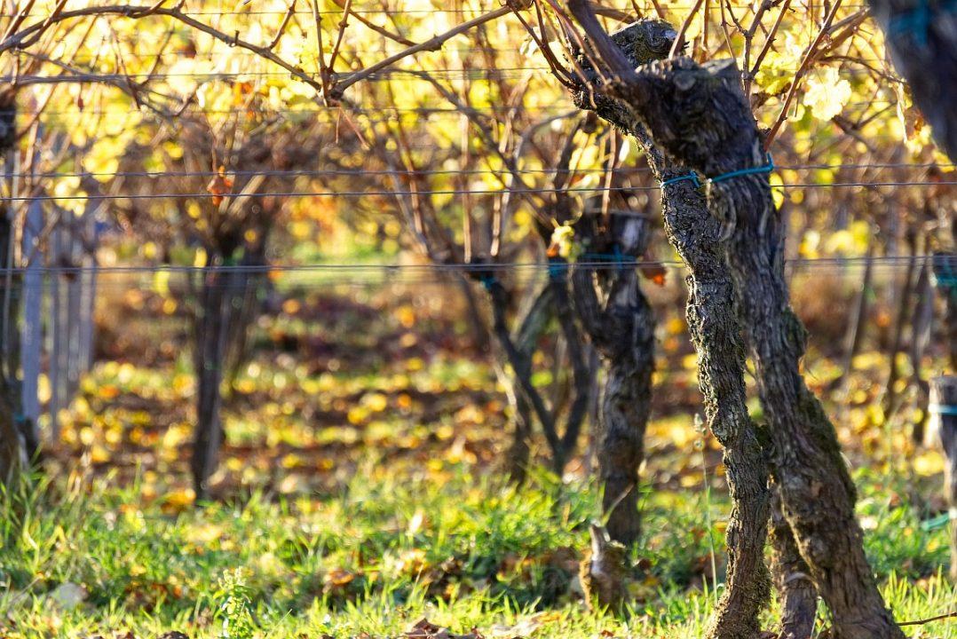 Weinstock Markus Diestelrath vineyards 3832738 1920 Pixabay CC PublicDomain