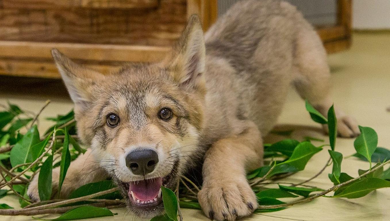 Keine Angst (mehr) vor bösen Wölfen