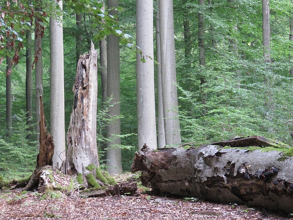 Totholz im Steihgerwald Nicola Uhde BUND