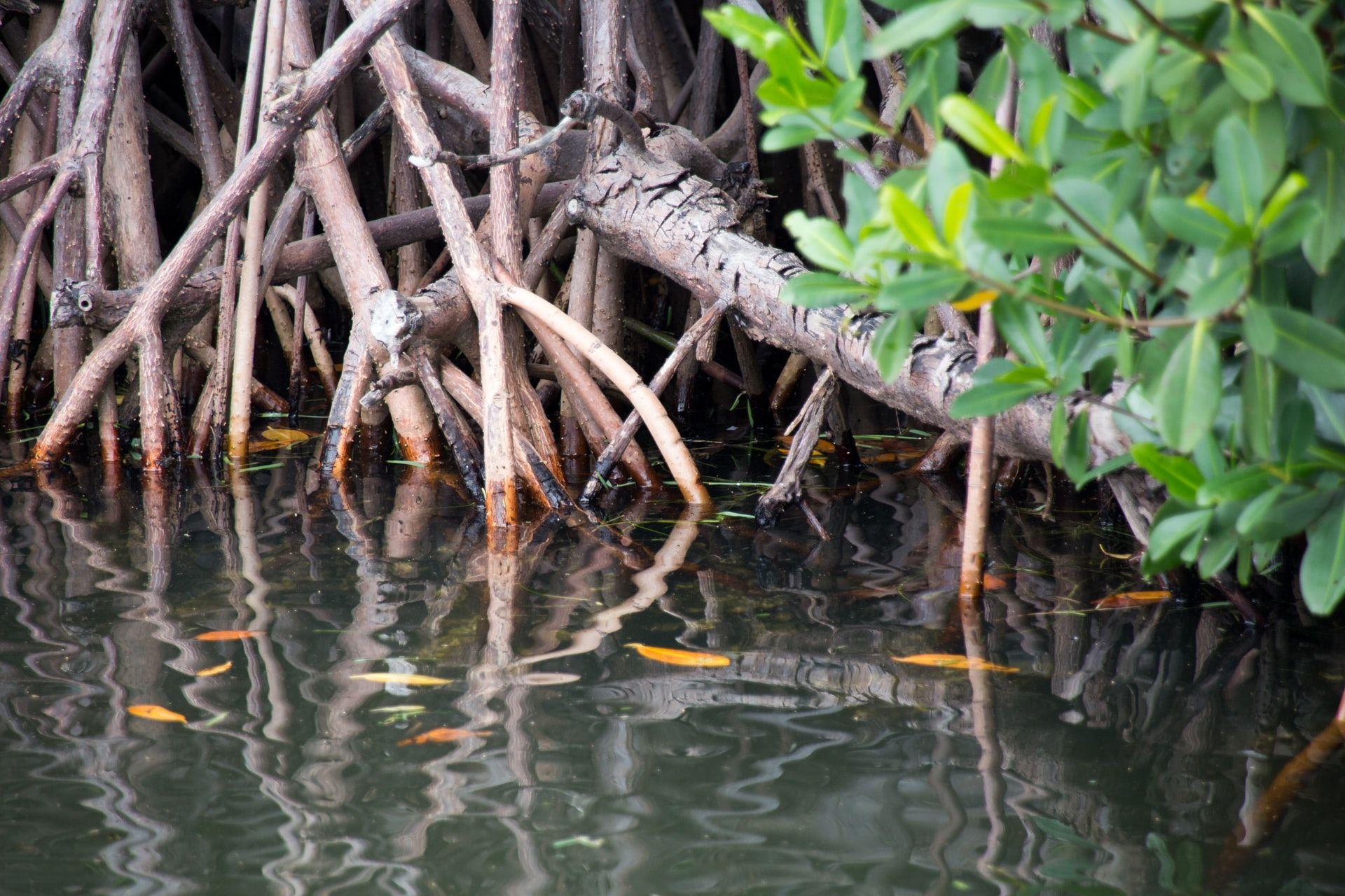 Mangrovenwälder: Bausteine im Klimapuzzle