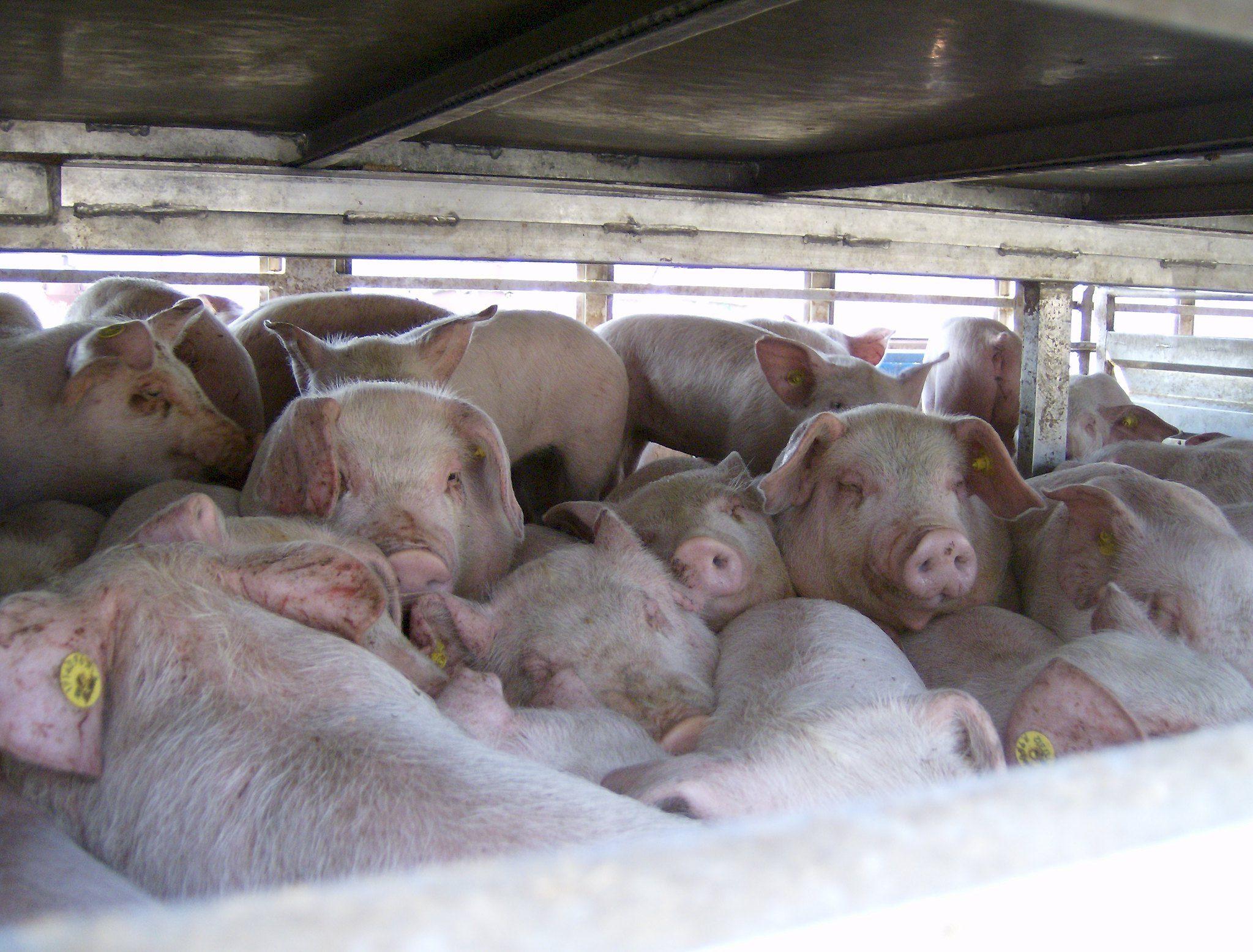 EU-Parlament für Untersuchungsausschuss zum Thema Tiertransporte