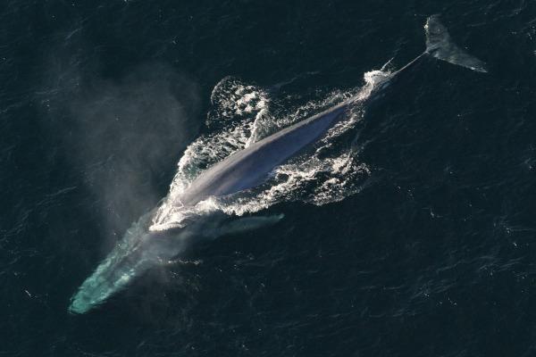 1 Blauwal Anim1754 Flickr NOAA Photo Library.jpg Wikimedia CC 2.0