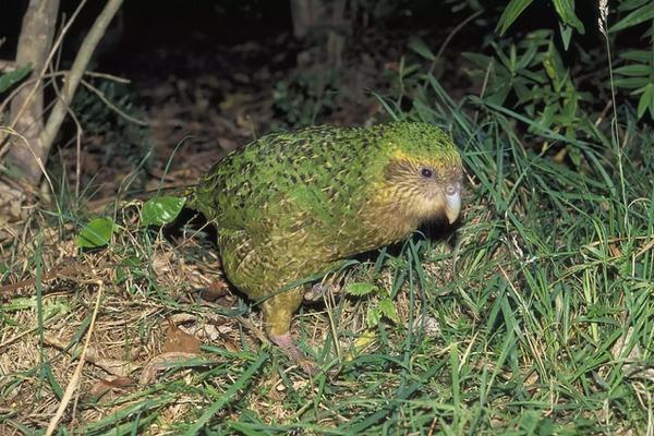 6 Kakapo Screenshot Treehugger