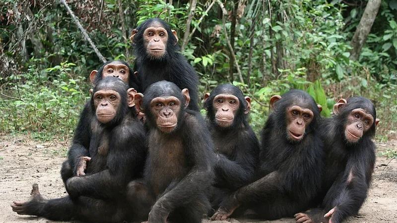 Ein neuer Wald für die Schimpansen