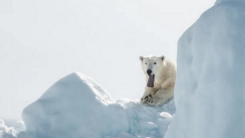 Klimawandel: Eisbären könnten bis 2100 aussterben
