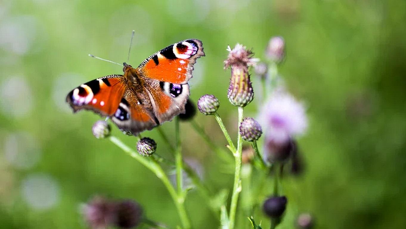 Artentod: Nun auch noch die Schmetterling