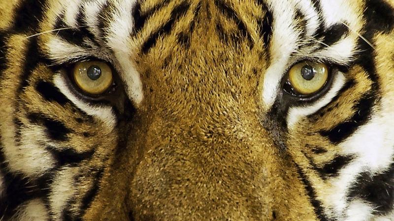 In Indien gibt es wieder mehr Tiger