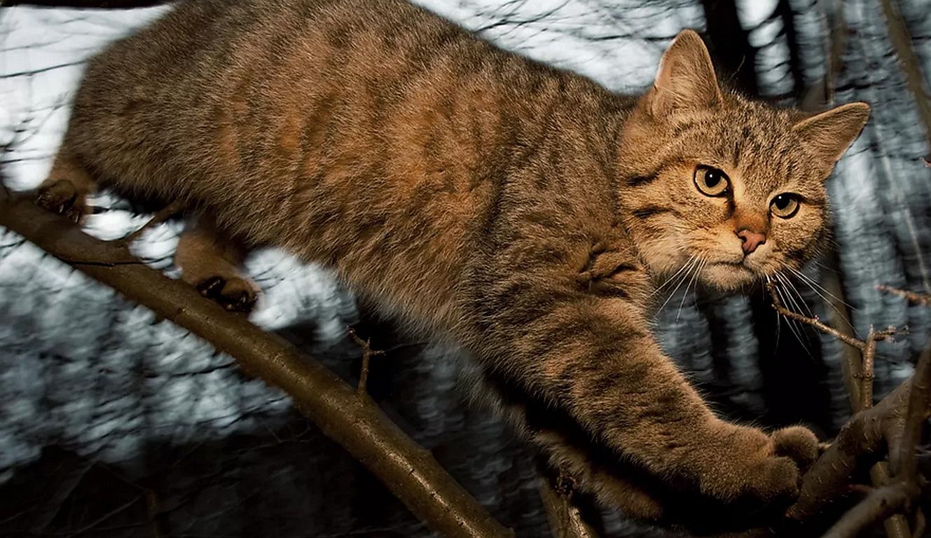 Wildkatze verteidigt ihre Jungen gegen Wolf