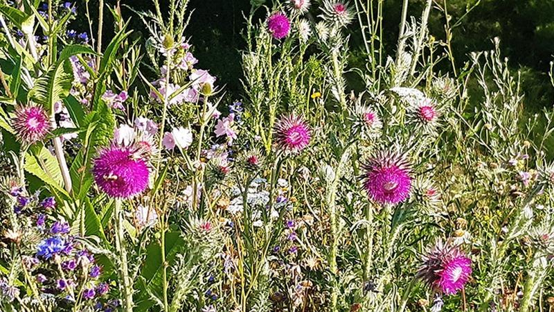 Wilde Flächen für mehr Insektenvielfalt in Hessen