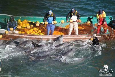 Delfinschlachten in Japan