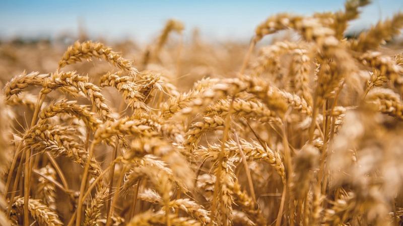 Weizen als krisensicherer Rohstoff