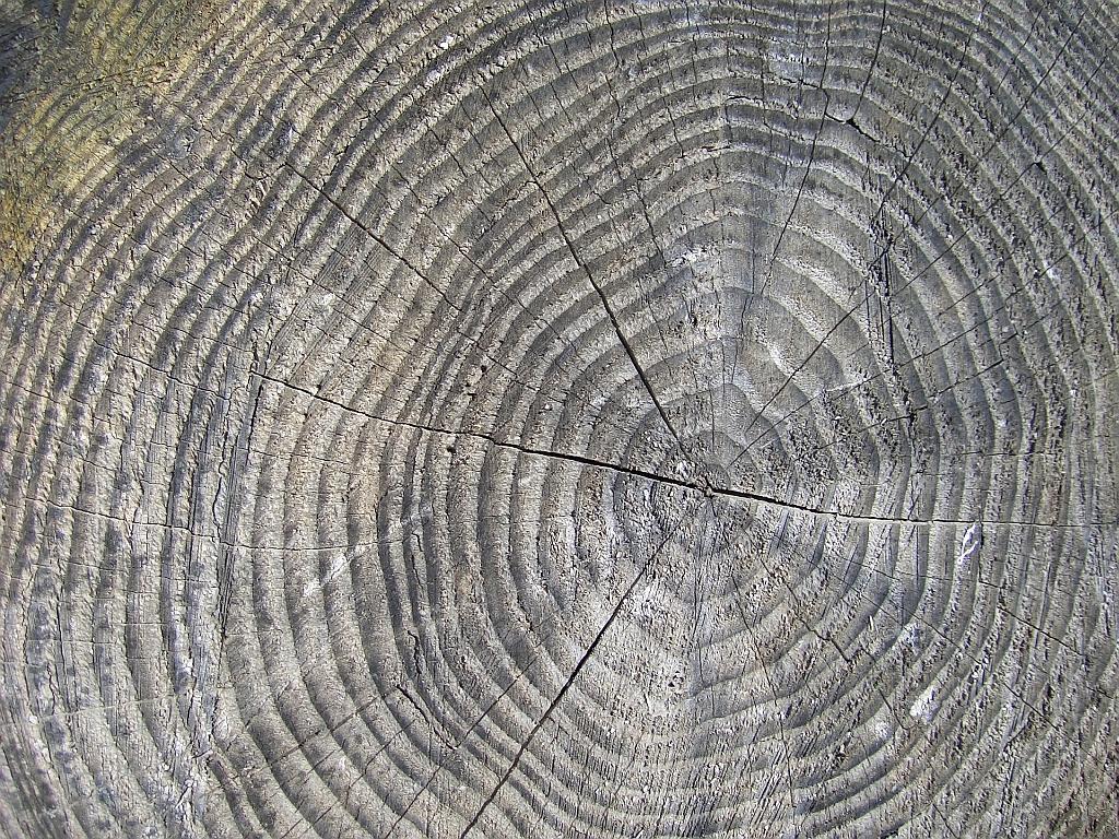 Baumringe sind kein gutes  Klima-Archiv