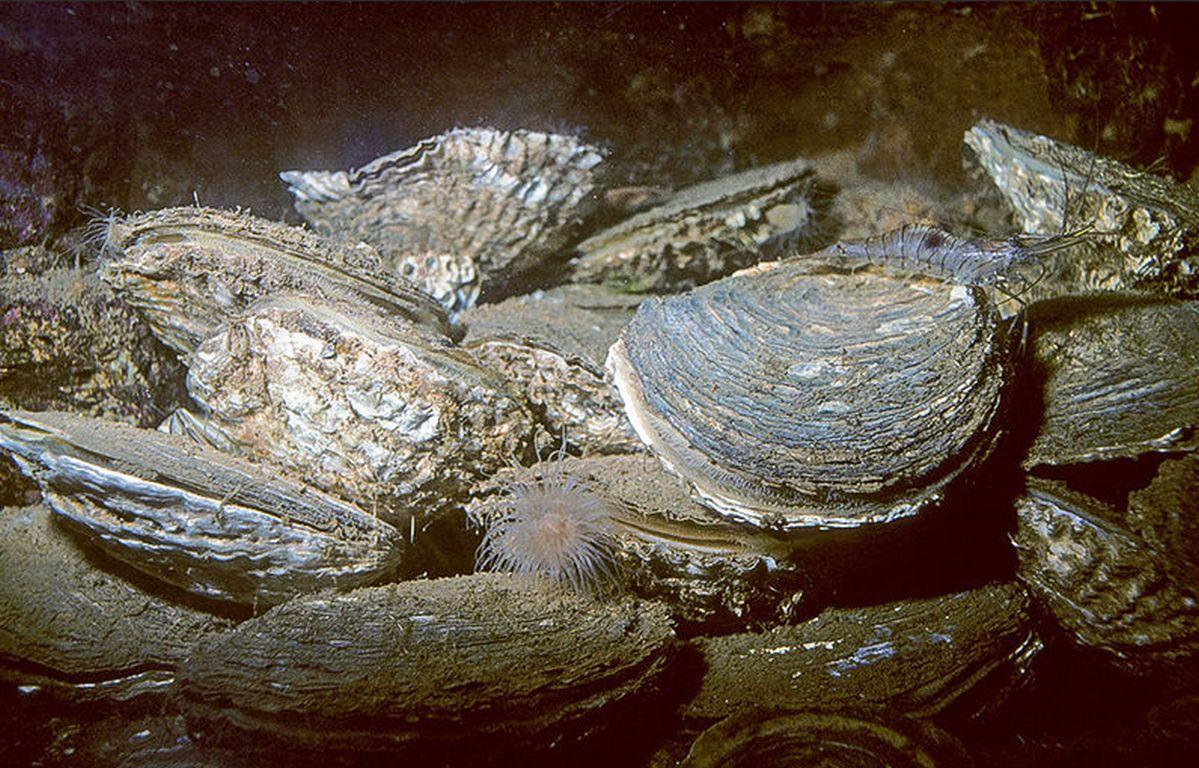 Wiederansiedlung der Europäischen Auster