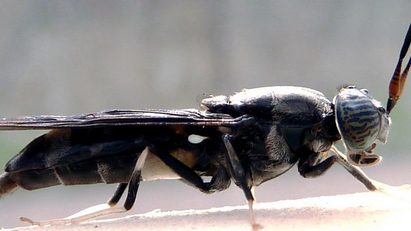 Eine Fliege könnte die Welt retten