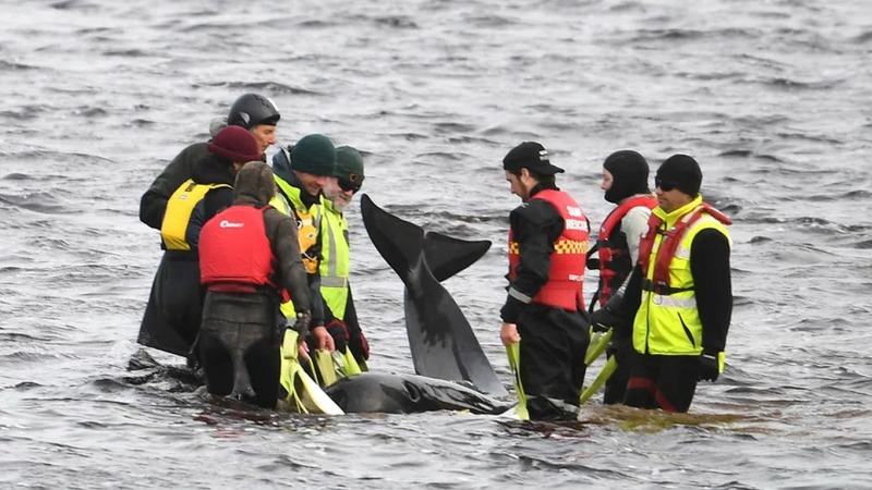 Mehr als 100 gestrandete Wale vor Australien gerettet