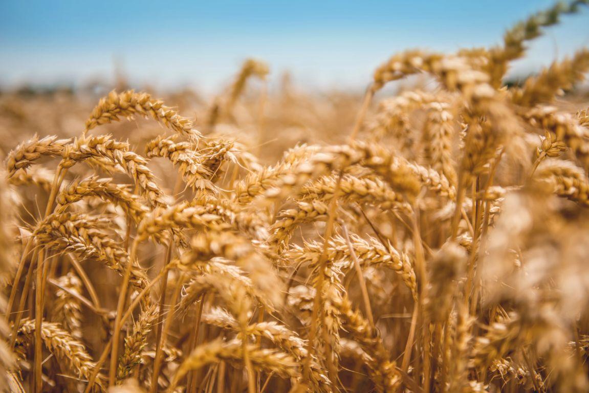 Weizen: Grundstoff für vielfältige Anwendungen