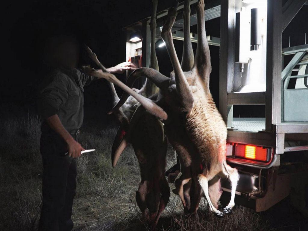 Kaenguru Jagd Pro Wildlife