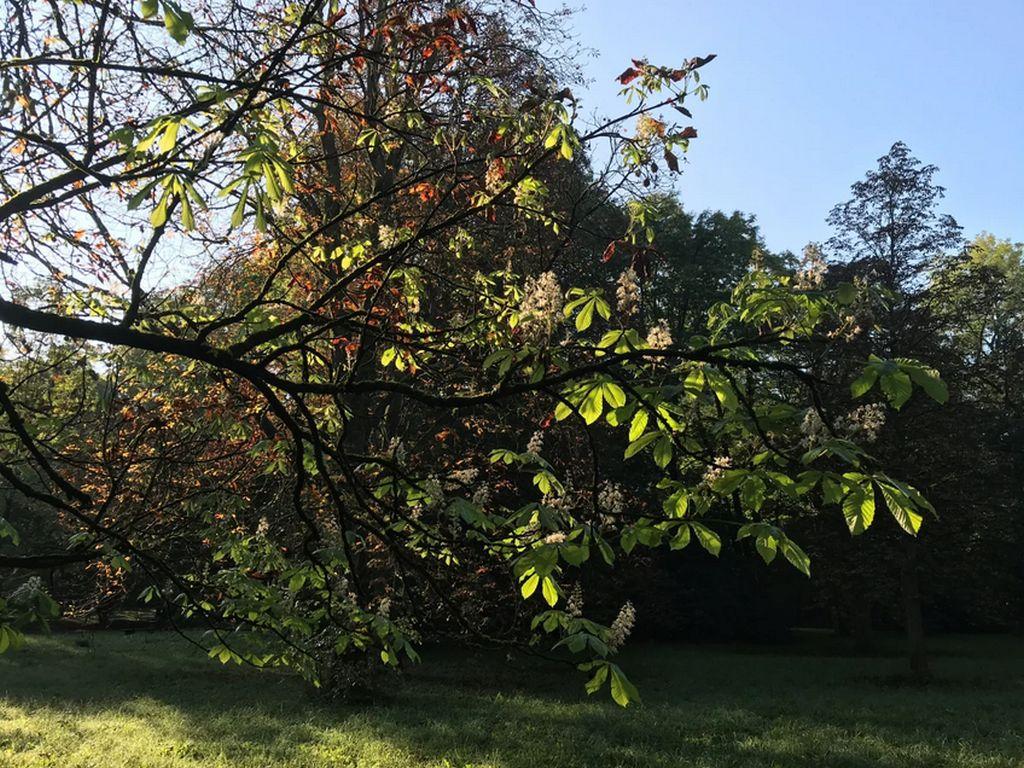 Kastanienblüte im Herbst