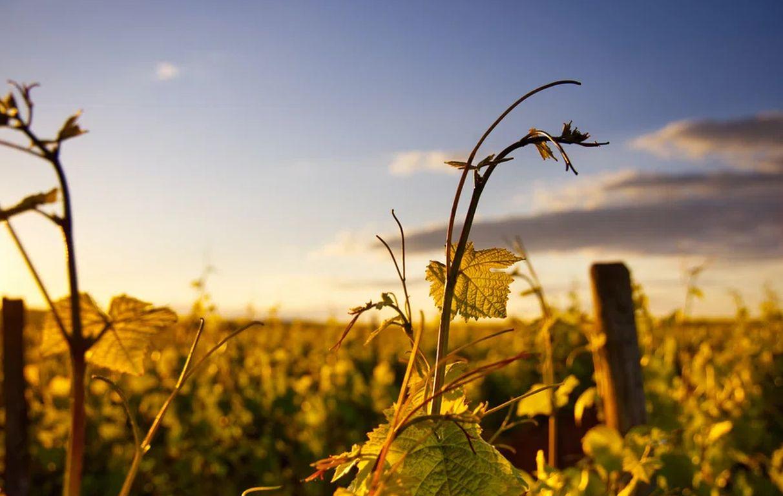 Klimawandel ändert auch Geschmack des Rieslings