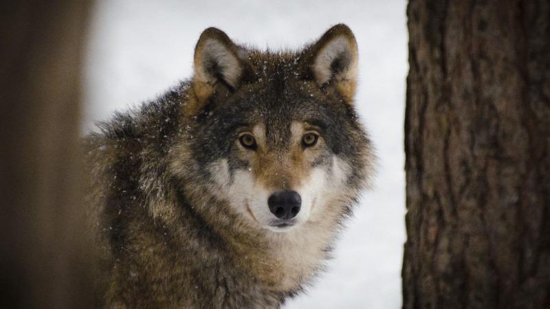 Bundesweit 128 Wolfs-Rudel bestätigt