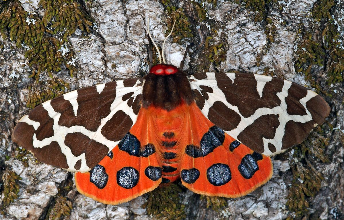 Brauner Bär: Schmetterling des Jahres 2021
