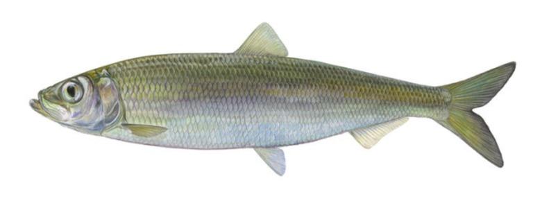 Hering wird der Fisch des Jahres 2021