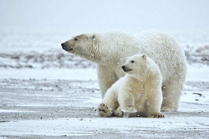 Riesenerfolg für die Eisbären und unser Klima