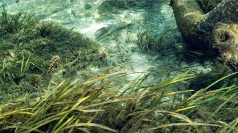 Seegras reinigt Meer von Mikroplastik