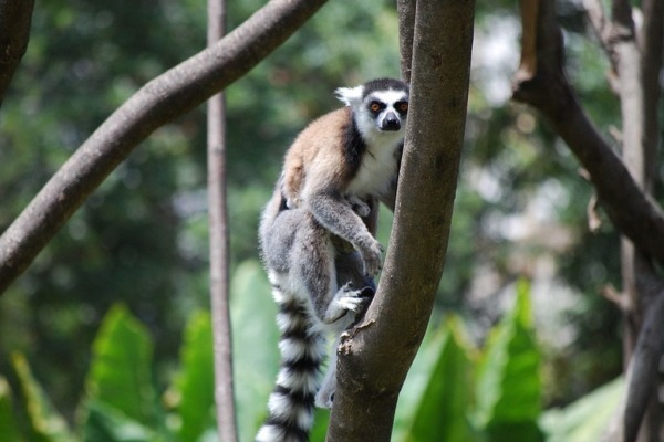 WWF GuV Lemur auf Madagaskar WWF Martina Lippuner