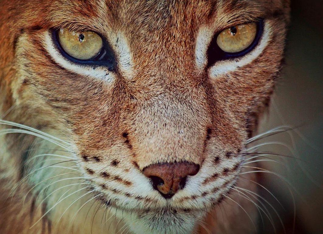 Luchs Gesicht Anja Helpinghands Pixabay CC PublicDOmain