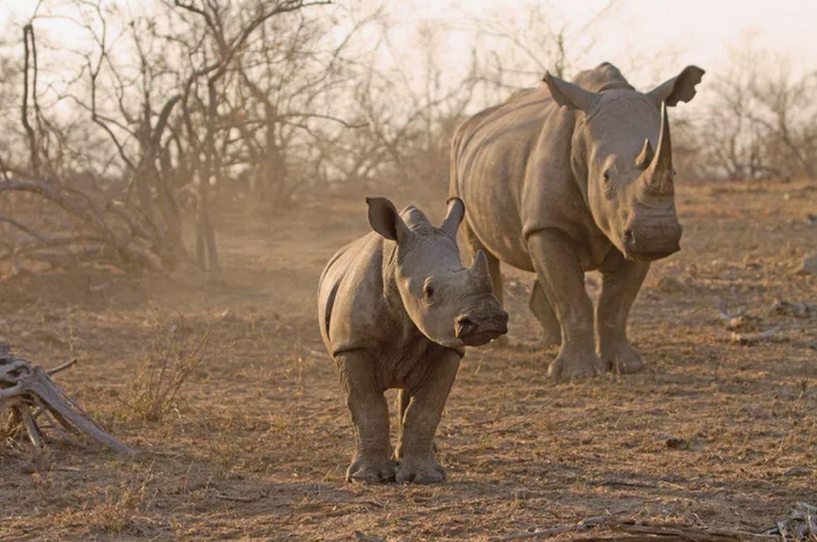 Corona: Lichtblick für Südafrikas Nashörner