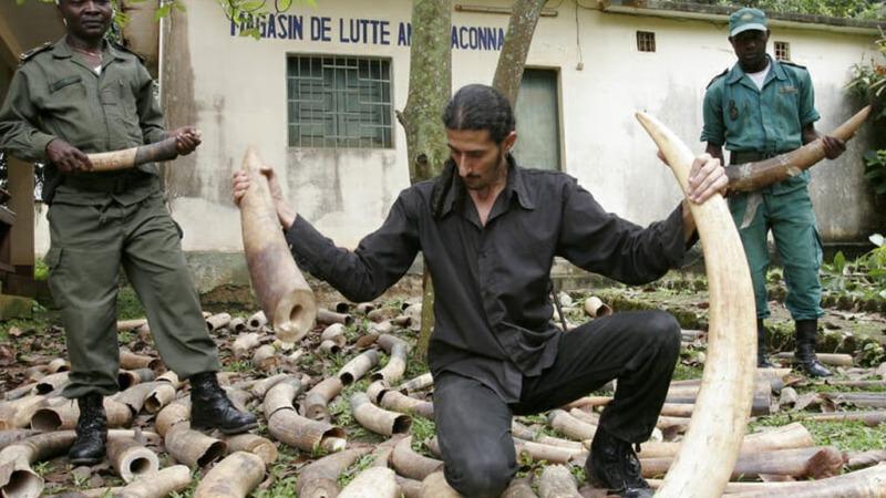 Illegaler Elfenbeinhandel boomt wie nie