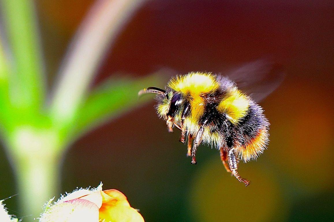 Insektenschwund: Drohne zum Bestäuben von Blüten