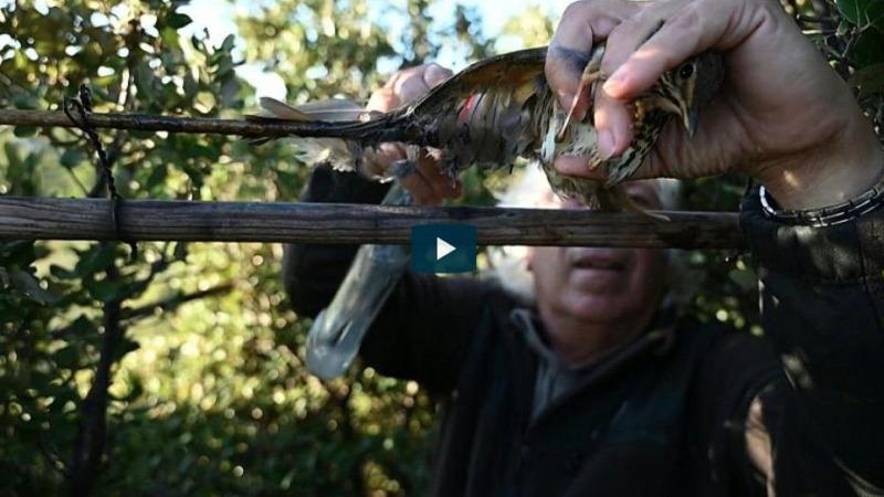 EuGH untersagt  Vogeljagd mit Leimruten