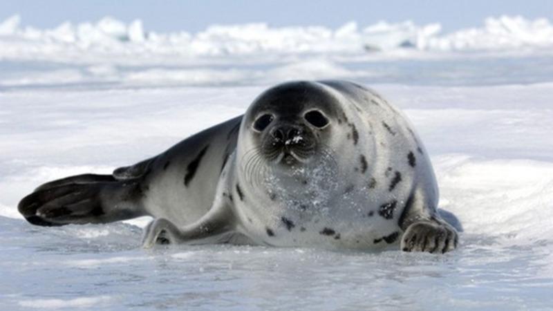 Ertrinken oder erschlagen: Das ist Robben-Schicksal
