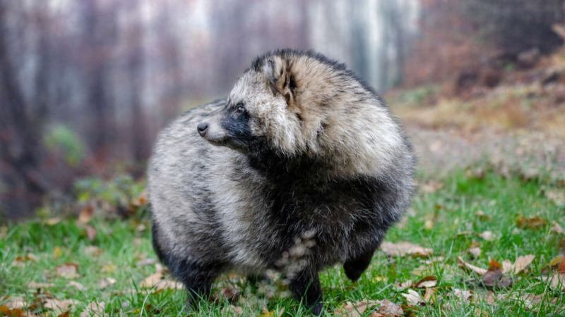 Invasive Arten: Marderhunde und Waschbären