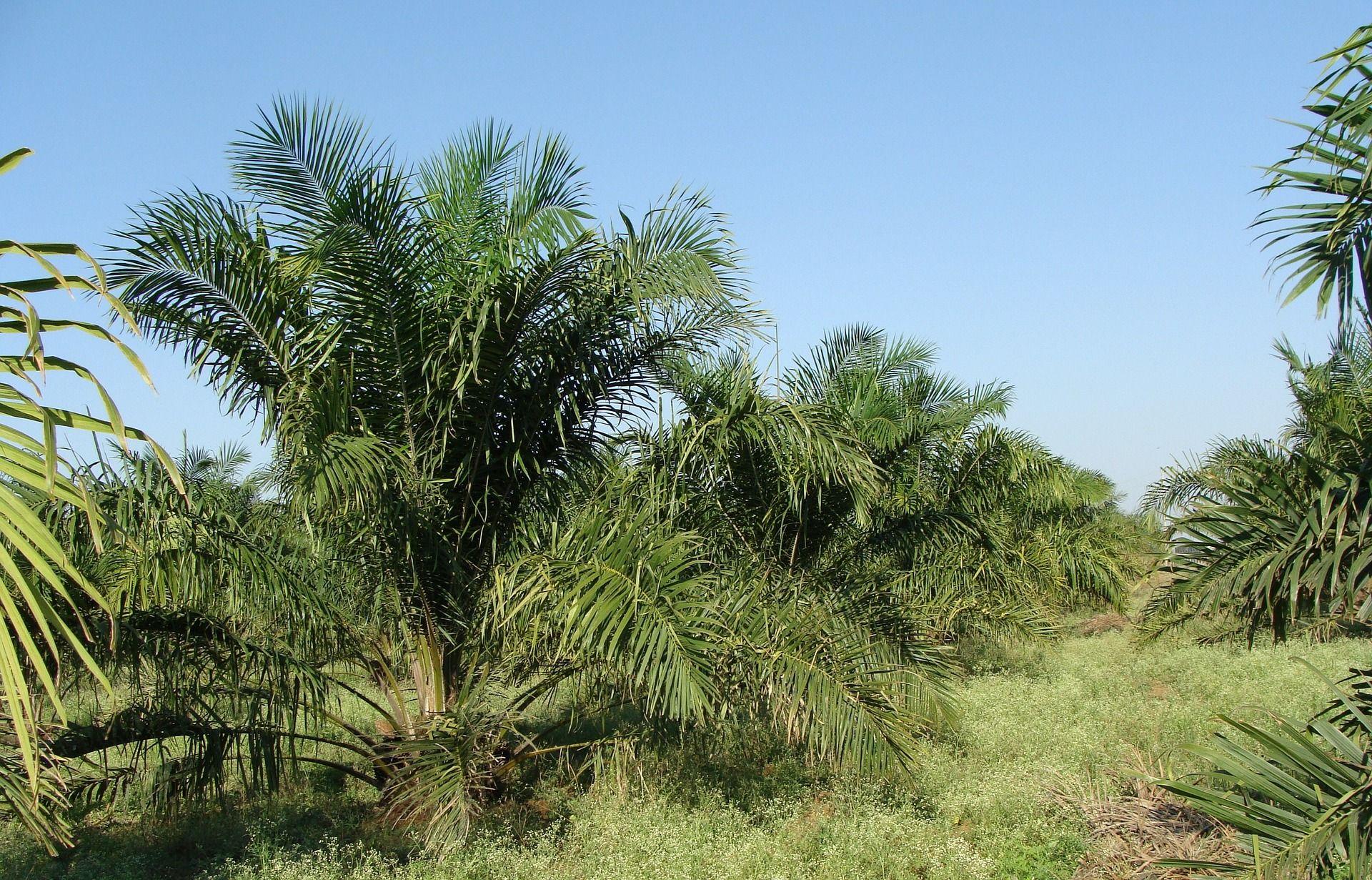 Sri Lanka verbietet Import und Anbau von Palmöl