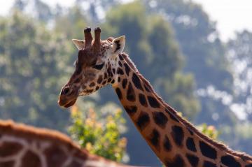 rothschild giraffe TheOtherKev pixabay