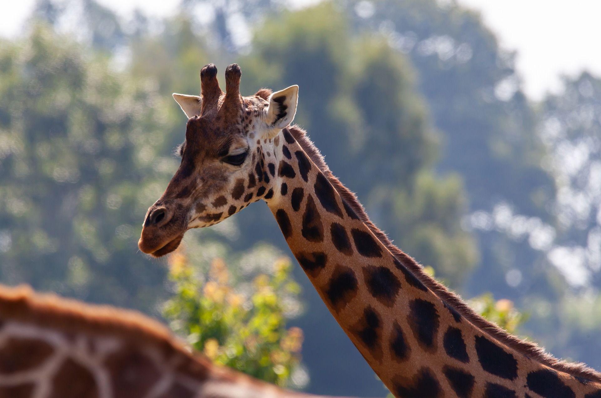 Insel sinkt: Giraffen im Boot abtransportiert