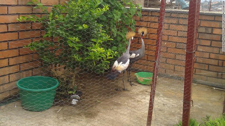 rwanda cranes captivity exlarge 169