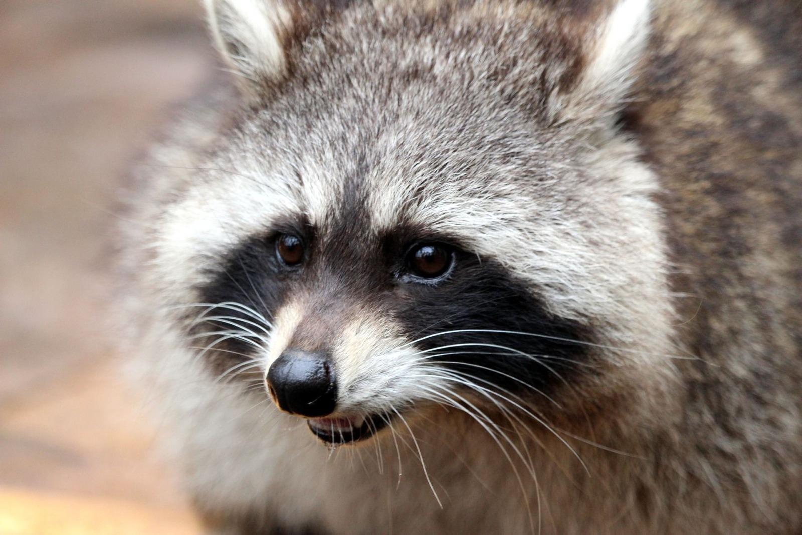 waschbaer raccoon Lolame pixabay