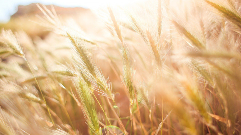 Klimawandel: neue Nutzpflanzen-Sorten notwendig