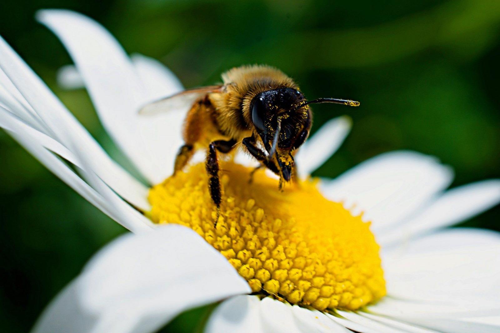 biene pollen bee Martin Ludlam pixabay
