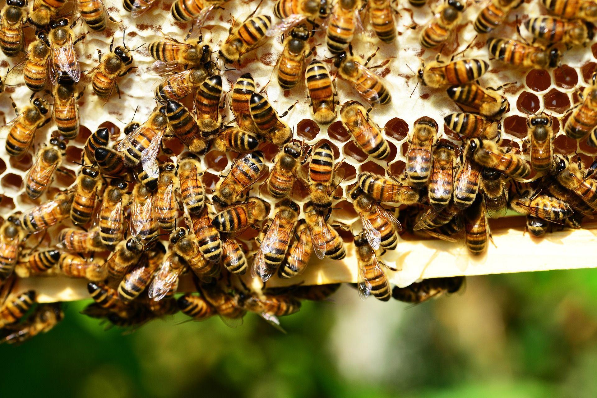 Schluckimpfung fürs Bienenvolk