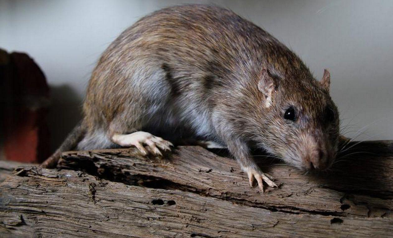 Teure Invasion: Nicht-heimische Arten verursachen Milliarden-Schäden